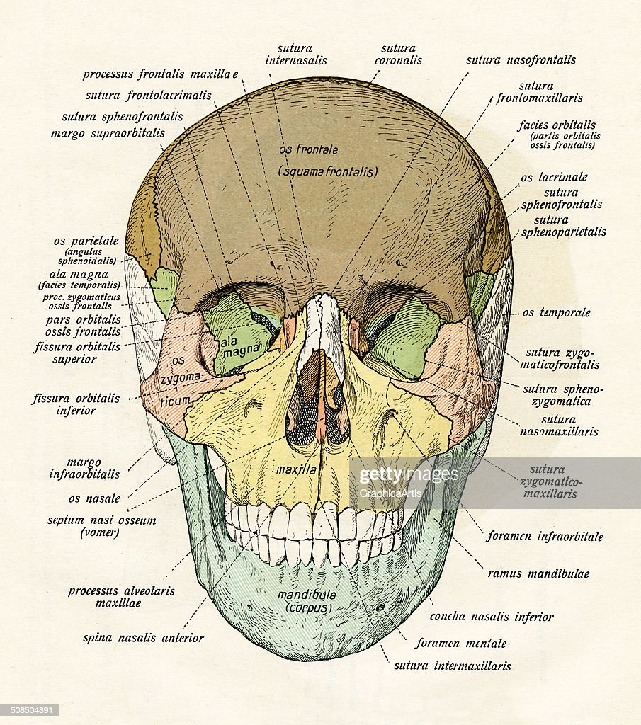 Diagram Of Human Skull Pictures | Getty Images