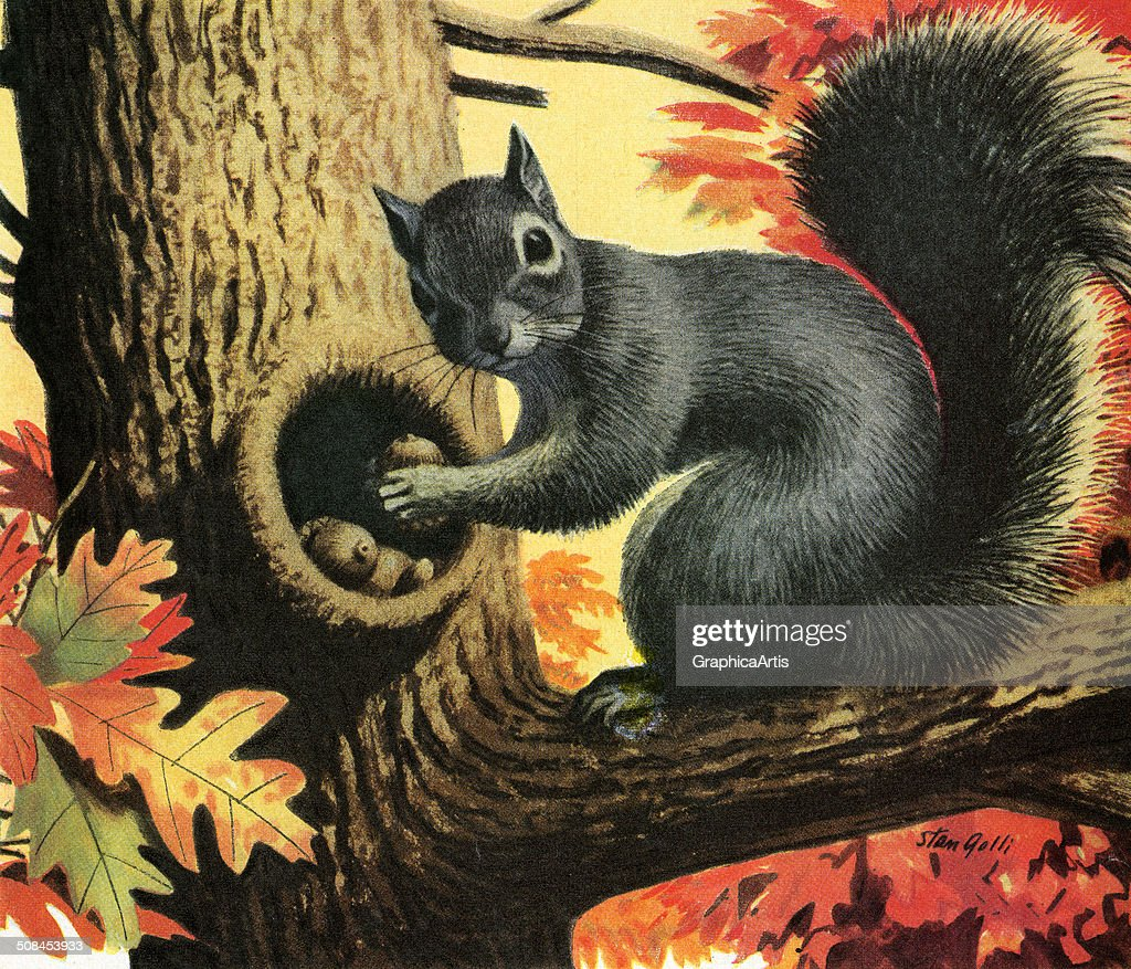 Vintage illustration of the grey squirrel storing acorn nuts in an oak tree in the autumn, 1957. Screen print by Stan Galli.
