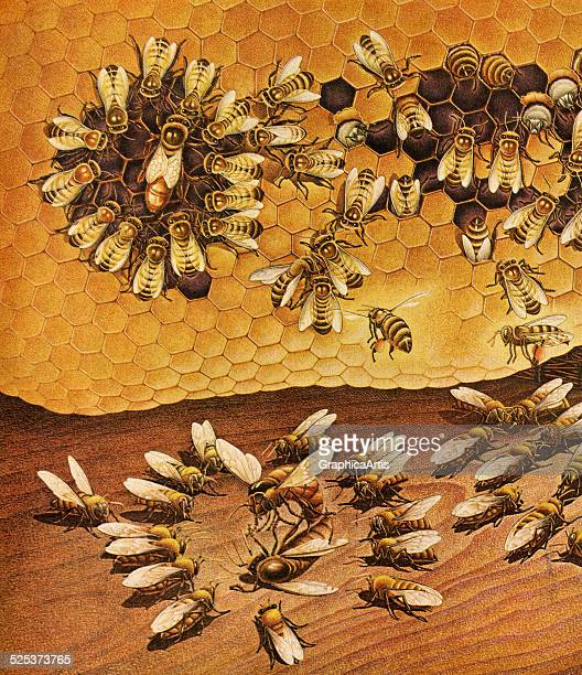 Vintage illustration of worker bees and queen bee in a hive creating a honeycomb and fighting for dominance lithograph 1950s