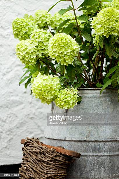 Vintage milk churn with green plant on terrace