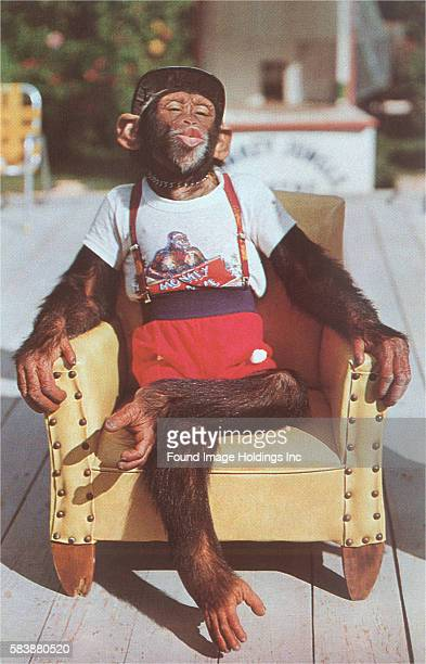 Vintage photograph of a chimpanzee dressed in a hat tshirt suspenders and shorts pursing his lips and sitting crosslegged in a yellow armchair in the...