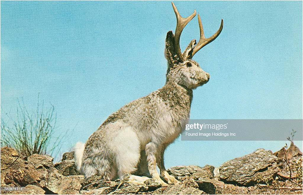 The jackalope or lepus cornutus is a fearsome hybrid of a jackrabbit and an antelope. Documented in many medieval scientific texts, the American version (pictured here) is native to Wyoming.