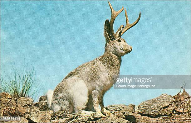 Vintage photograph of a gigantic jackalope posed in the desert in the 1960s