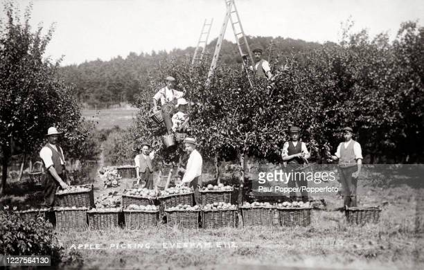 Vintage postcard featuring a group of young men picking apples in an orchard in Evesham, Worcestershire, circa 1910.