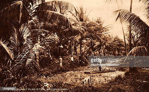 A vintage postcard showing a coconut plantation in British Guiana South America circa 1910 British Guiana went on to become Guyana after gaining...