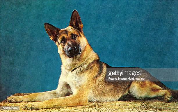 Vintage studio photograph of a quizzical German Shepherd laying on a straw mat against a blue background in the 1950s