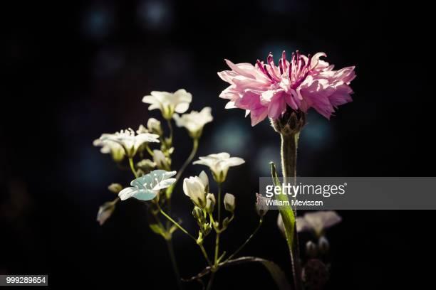 vintage style cornflower - william mevissen bildbanksfoton och bilder