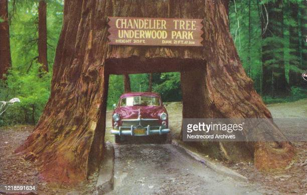 Vintage tourist souvenir postcard of roadside attraction on the Redwood Highway, the famous Chandelier Tree, a drive - through ancient Redwood tree,...