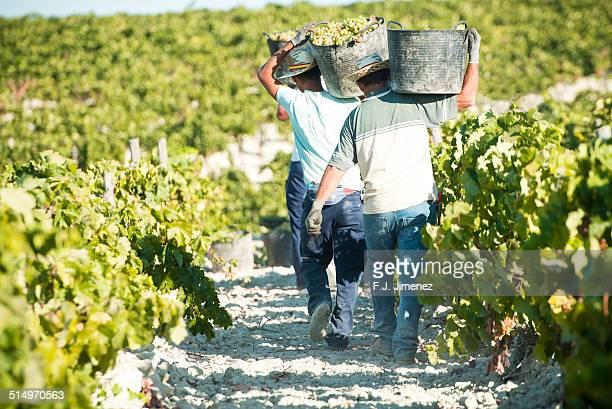 vintagers picking grapes - ヘレスデラフロンテラ ストックフォトと画像