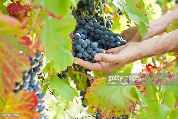 vintner examining grapes on vine, close-up