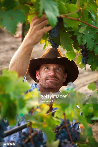 vintner picking grapes in a vineyard - grape leaf stock pictures, royalty-free photos & images