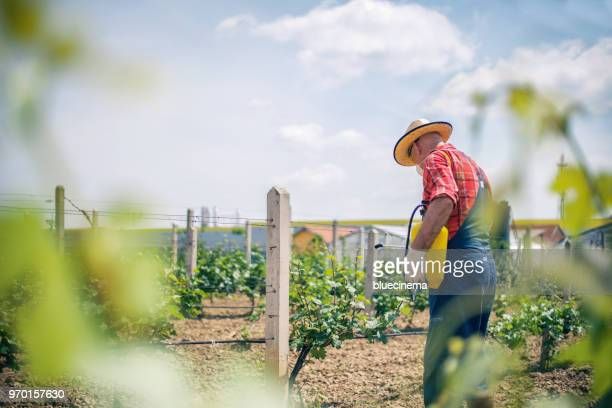 vintner spraying chemicals on vine grapes - cabernet sauvignon grape stock photos and pictures