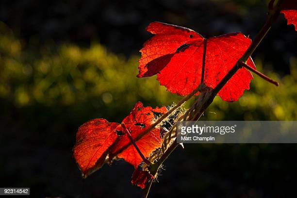 vinyard fall leaves - skaneateles lake stock pictures, royalty-free photos & images