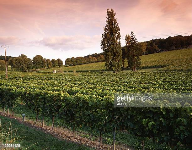vinyards, charente - charente stock pictures, royalty-free photos & images