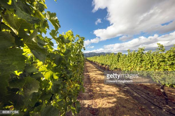 Vinyards in Wairau River area, South Island, New Zealand