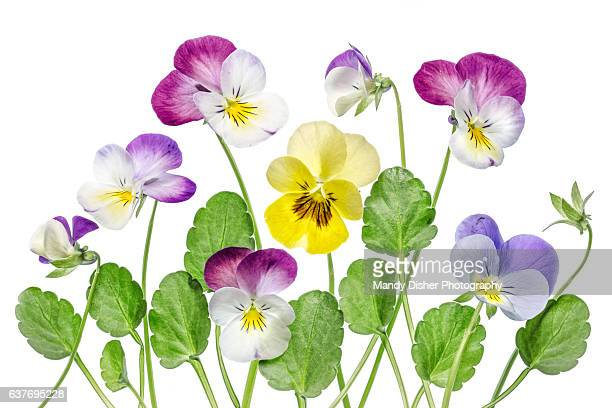 viola flowers - pansy stock pictures, royalty-free photos & images