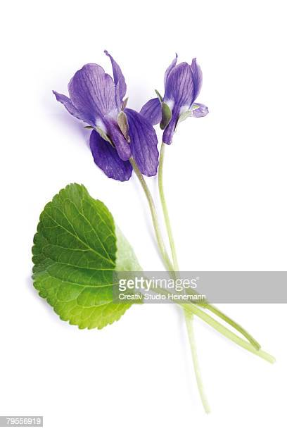 viola odorata, close-up - columbine flower stock pictures, royalty-free photos & images