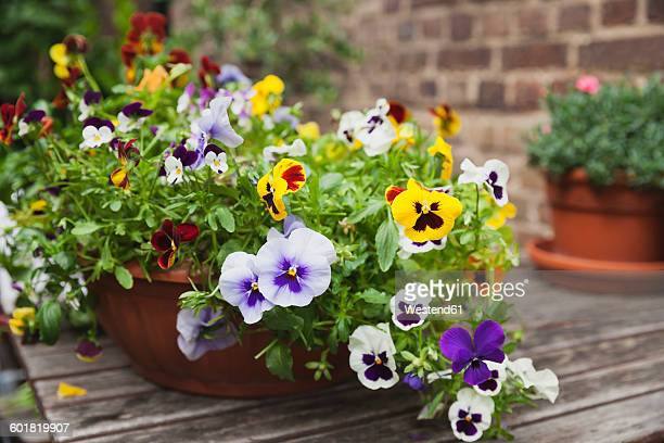 viola on garden-table in flowerpot - pansy stock pictures, royalty-free photos & images