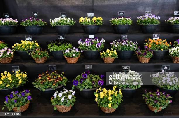 Viola's and Pansies' are shown on a display during staging day for the Harrogate Autumn Flower Show on September 12 2019 in Harrogate England The...