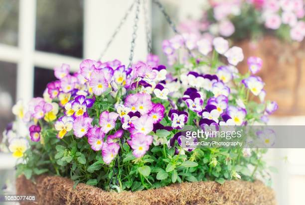violas in hanging basket with view of french door windows - hanging basket stock pictures, royalty-free photos & images