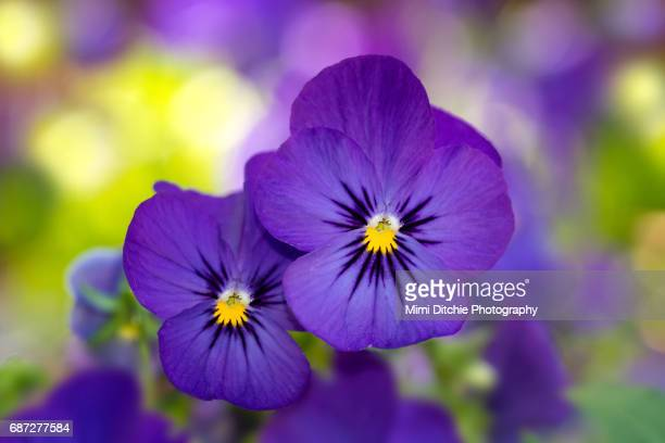 violas - pansy stock pictures, royalty-free photos & images