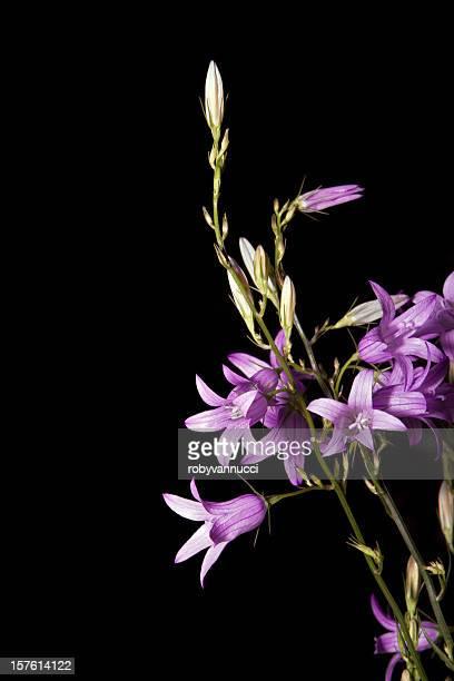 ヴァイオレットカンパニュラ花、黒色の背景