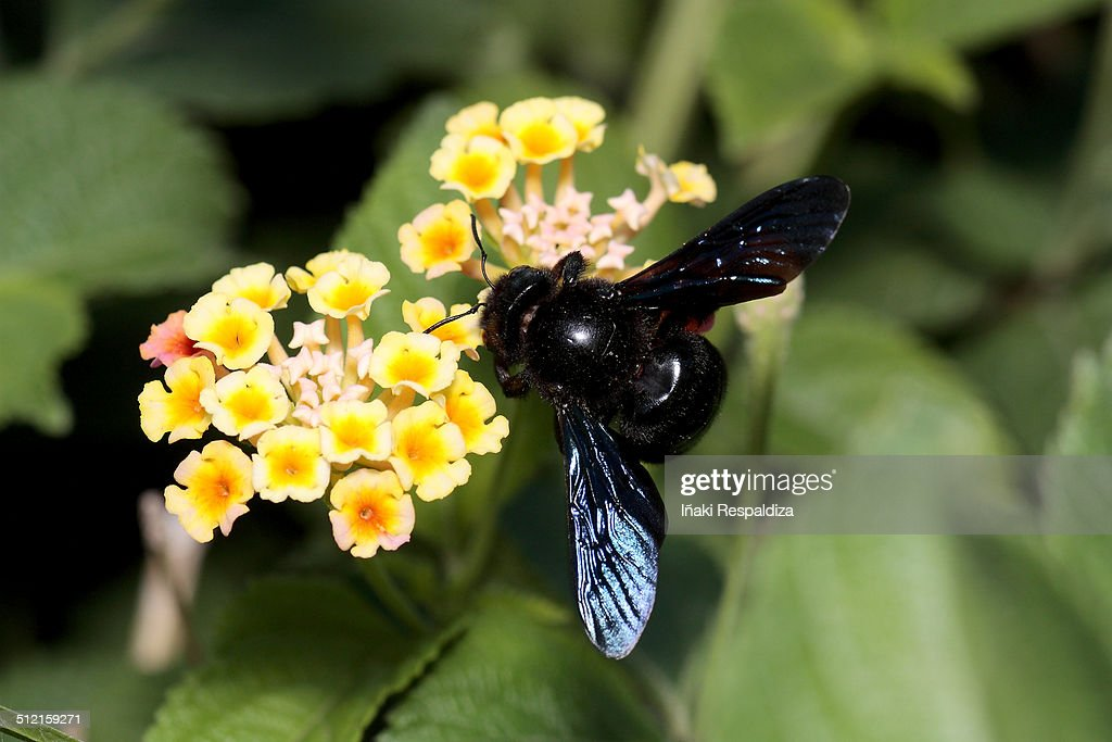 Violet carpenter bee : Foto de stock