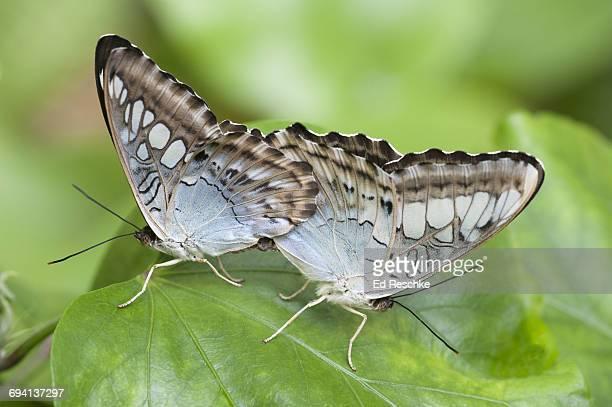 Violet Clipper Butterflies Mating