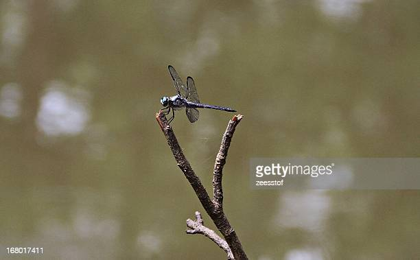 violet dragonfly - zeesstof stock pictures, royalty-free photos & images