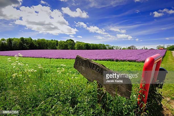 Violet field of flowers