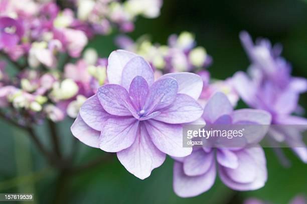 ヴァイオレットの花