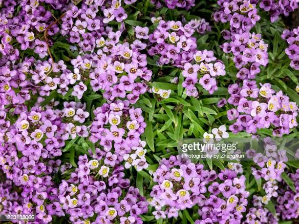 violet flowers and green grass. - uncultivated stock pictures, royalty-free photos & images