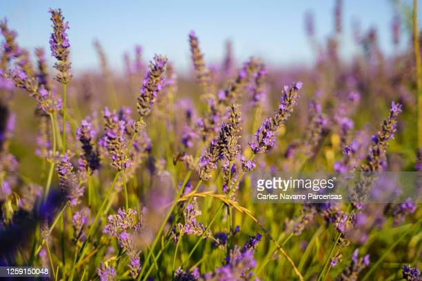 violet flowers from a lavender field in french provence - editorial stock pictures, royalty-free photos & images