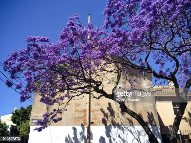 Violet flowers of Jacaranda tree in full bloom beside an end of row Victorian terrace.