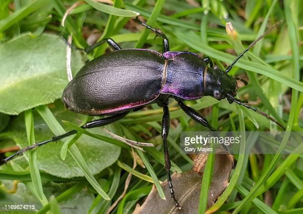 violet ground beetle - coleottero foto e immagini stock