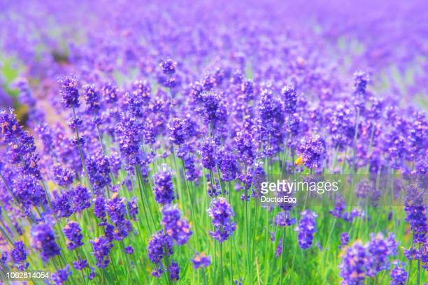 violet lavender field at tomita farm - sapporo japan stock pictures, royalty-free photos & images