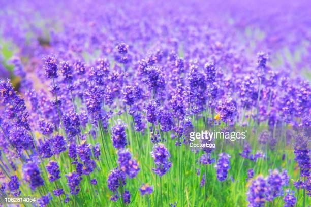 violet lavender field at tomita farm - sapporo - fotografias e filmes do acervo