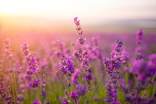 violet lavender field 941005950