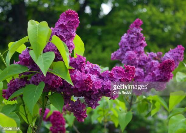 violet lilacs, rochester, new york, usa - ライラック ストックフォトと画像