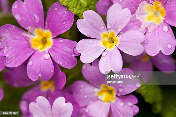 violet primula with raindrops