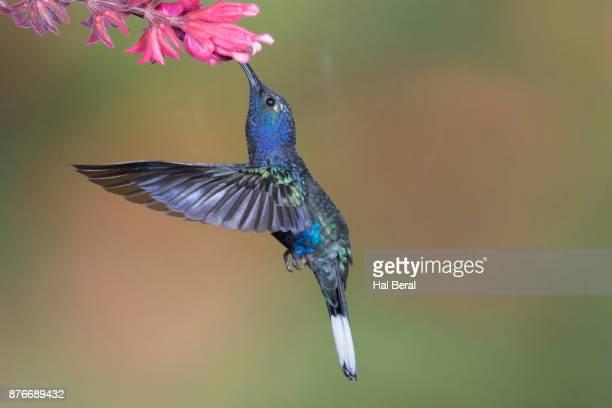 Violet Sabrewing Hummingbird feeding on flower
