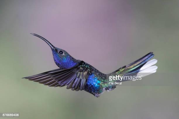 Violet Sabrewing Hummingbird flying