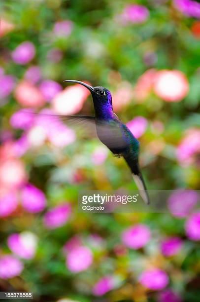 Violet sabrewing hummingbird (Campylopterus hemileucurus)
