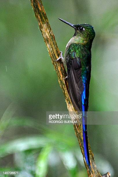 A Violet tailed Sylph is seen at the private reserve of Paz de las Aves near Nanegalito Ecuador 65 Km north of Quito on April 4 2012 Ecuador is a...
