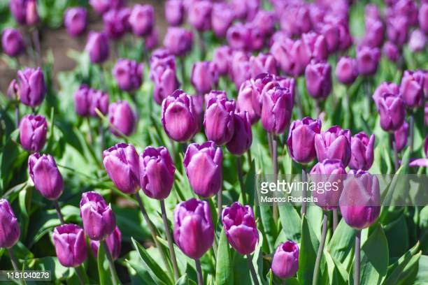 violet tulip flowers - radicella stock pictures, royalty-free photos & images