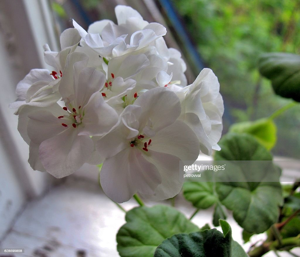 Violet White Flower In A Pot Stock Photo Getty Images