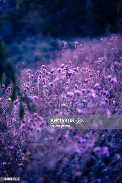 violet wild field