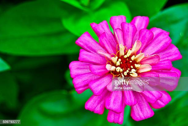 violet zinnia - neha gupta stock pictures, royalty-free photos & images