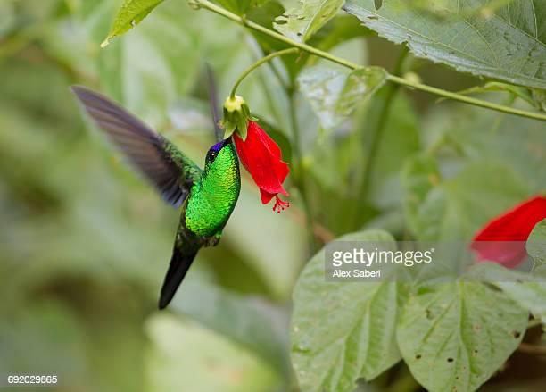 a violet-capped woodnymph, thalurania glaucopis, feeds from a red flower in the atlantic rainforest. - alex saberi bildbanksfoton och bilder