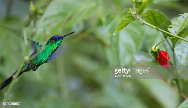 a violet-capped woodnymph, thalurania glaucopis, feeds from a red flower in the atlantic rainforest. - alex saberi stock pictures, royalty-free photos & images